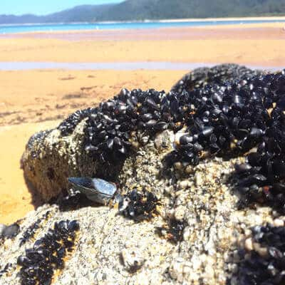 mussels at totaranui 1 - All my january pictures, fromAuckland to golden bay
